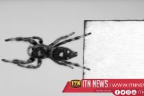 Scientists train spider to jump on demand