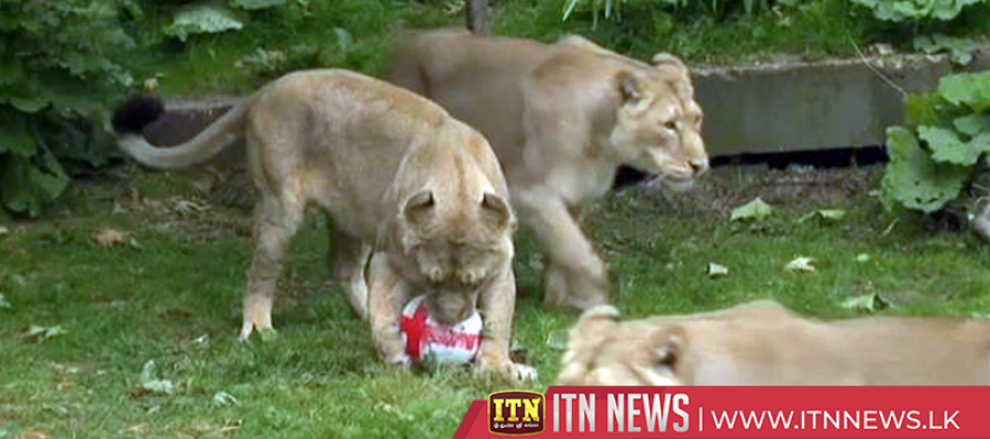 London zoo's big cats show England players how it's done