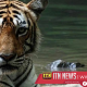 """Legendary """"Queen Of Ranthambore"""" Machli was given an honorary solemn funeral"""