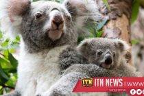 New South Wales announces new funding to help protect koala populations in the state
