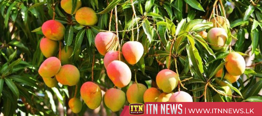First mango cultivation zone launched