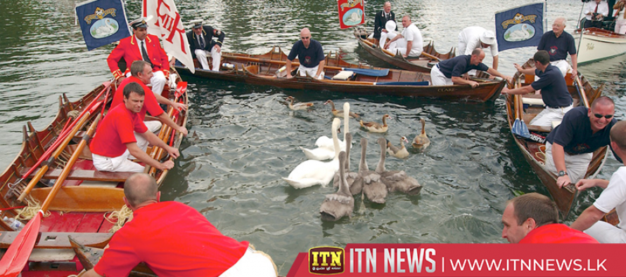 Annual counting of the Queen's swans, known as 'Swan Upping' takes place