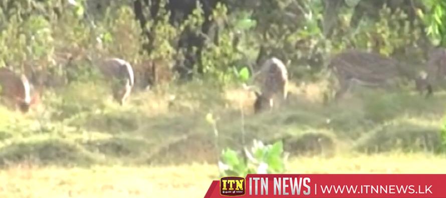 Deer destroy crops in Medirigiriya