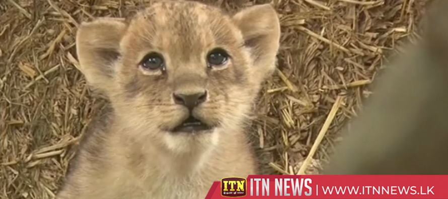 Adorable lion cub trio make their debut in South Carolina zoo