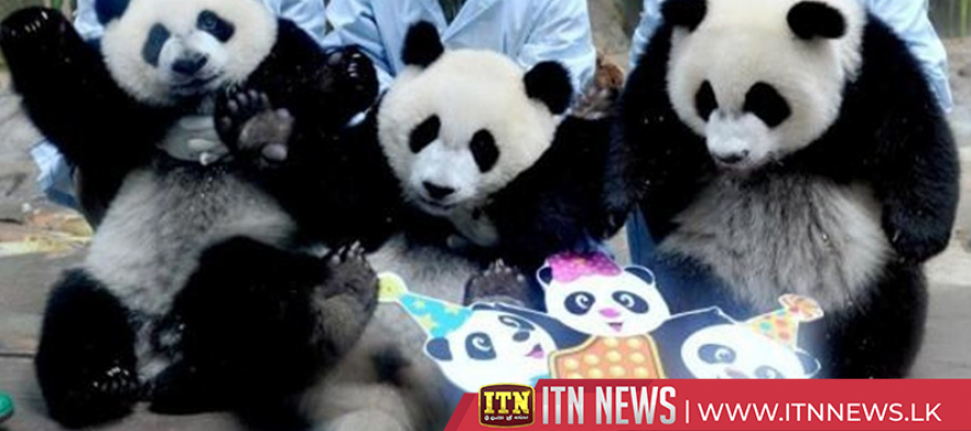 World's only panda triplets celebrate 4th birthday in Guangzhou