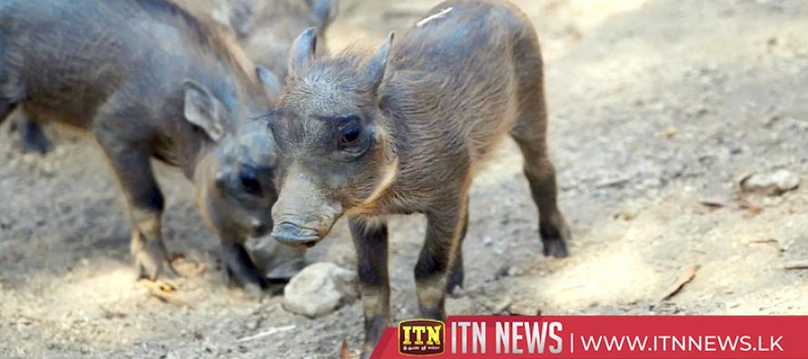 Newborn warthog piglets explore surroundings at San Diego Zoo