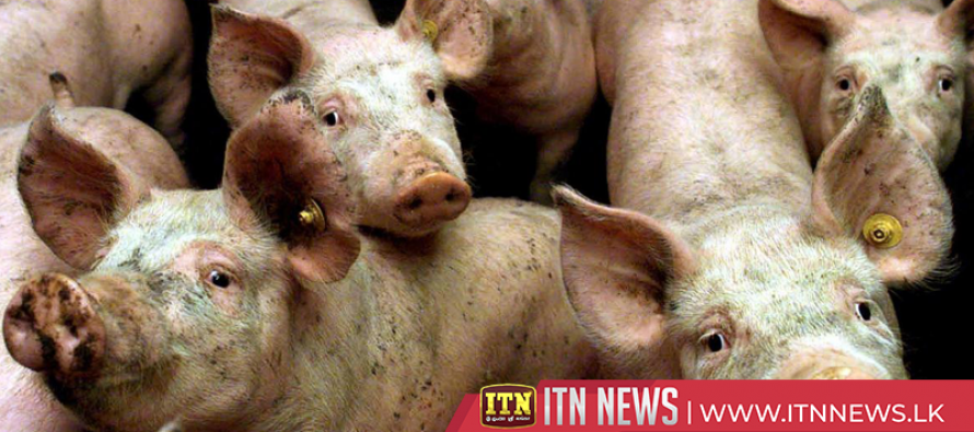 African swine fever hits Romania's biggest pig farm