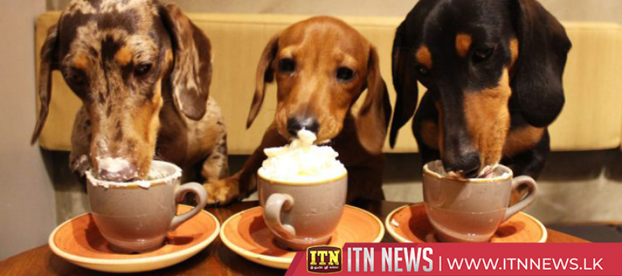 Dachshund dogs treated to pop-up cafe in London