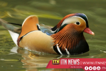Brazilian zoo reports first fully natural hatching of endangered duck