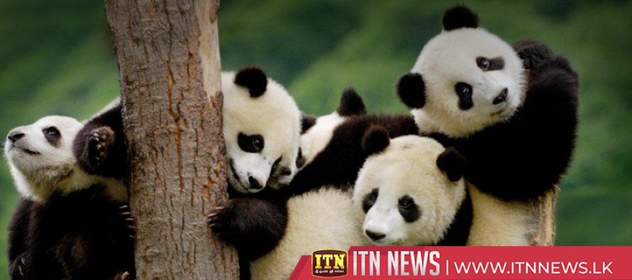 China's panda population increases due to improved habitat protection