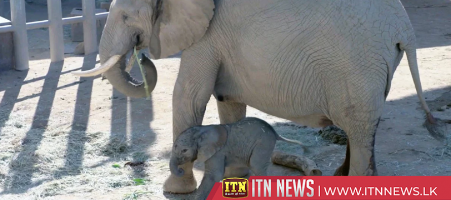Early birth of elephant calf surprise to zoo keepers