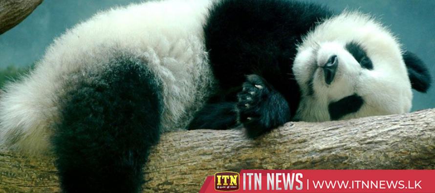 Southwest China nature reserve rangers run into sleeping wild panda cub