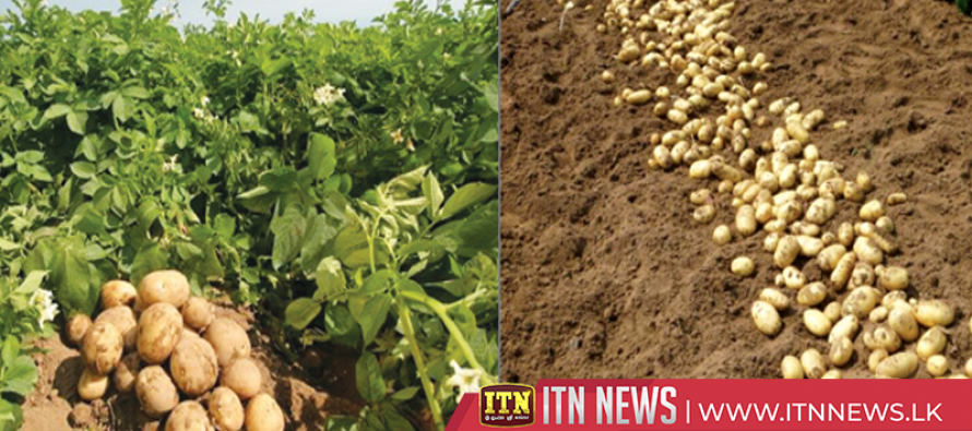 New technology to increase potato production