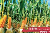Maha season records biggest maize harvest