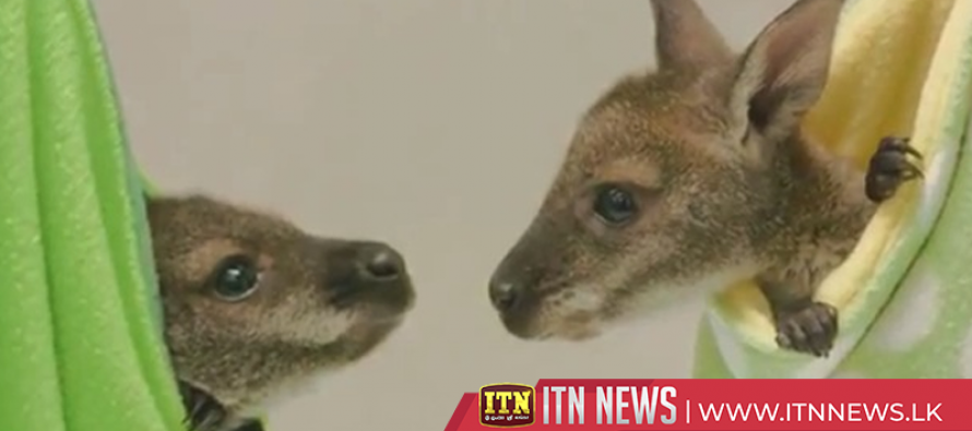 Wallaby joeys take walkabout in new outdoor habitat