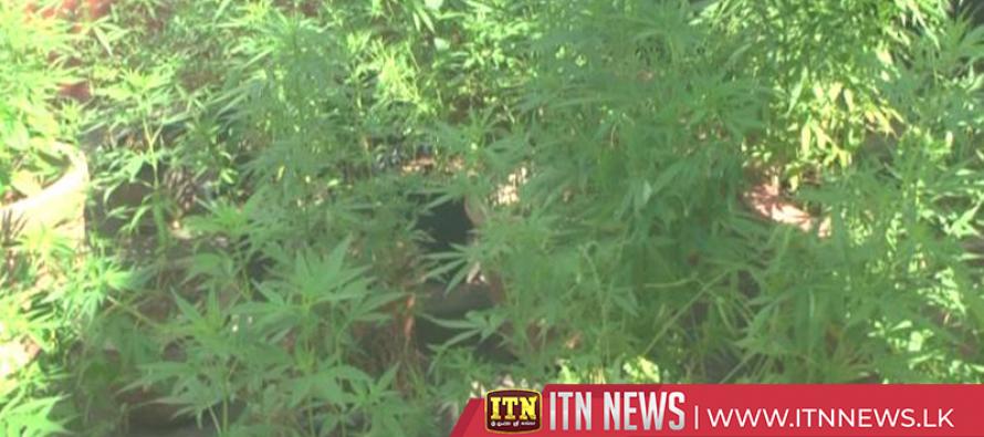 Cannabis cultivation raided