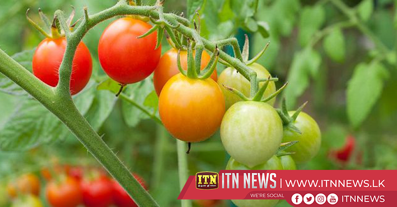 New variety of tomatoes cultivated in Sri Lanka