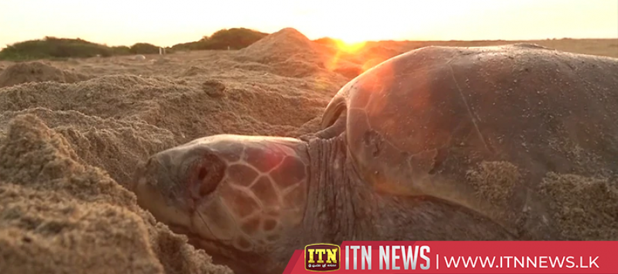 Sea turtles make annual pilgrimage to Mexican beach