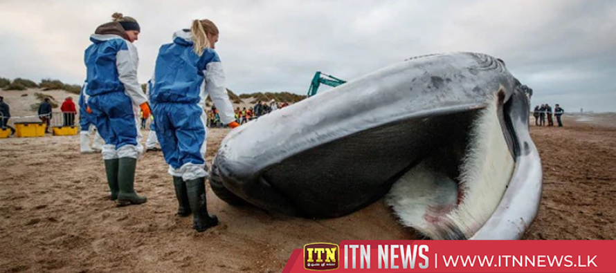 Dead fin whale washed ashore Belgian beach