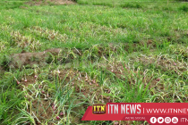Compensation for damaged big onion cultivations