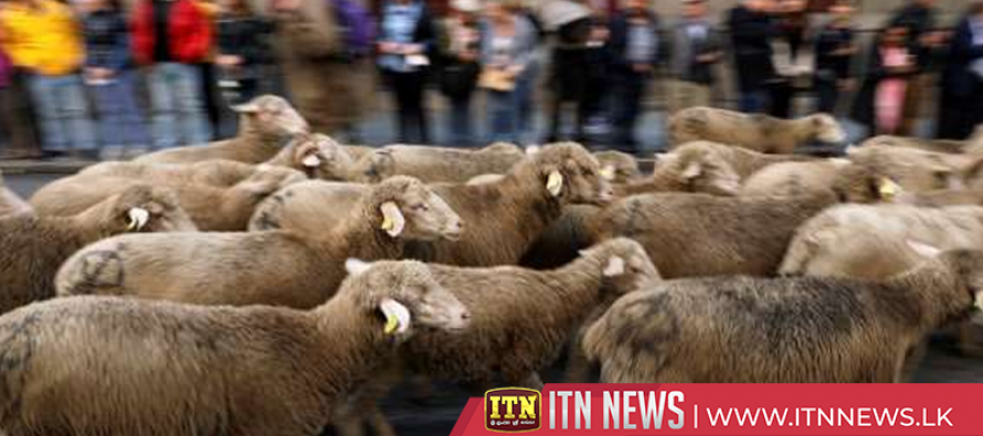Hundreds of sheep replace traffic as they flock to downtown Madrid