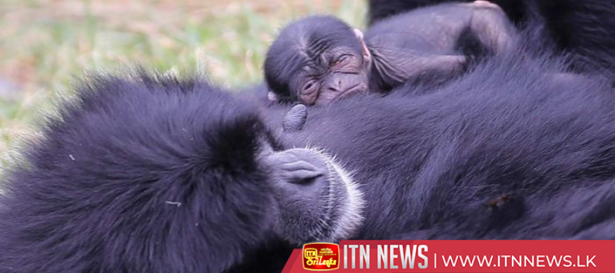 Newborn siamang transfixes zoo visitors