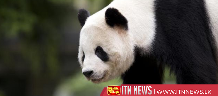 San Diego Zoo bids farewell to China-bound Giant Panda