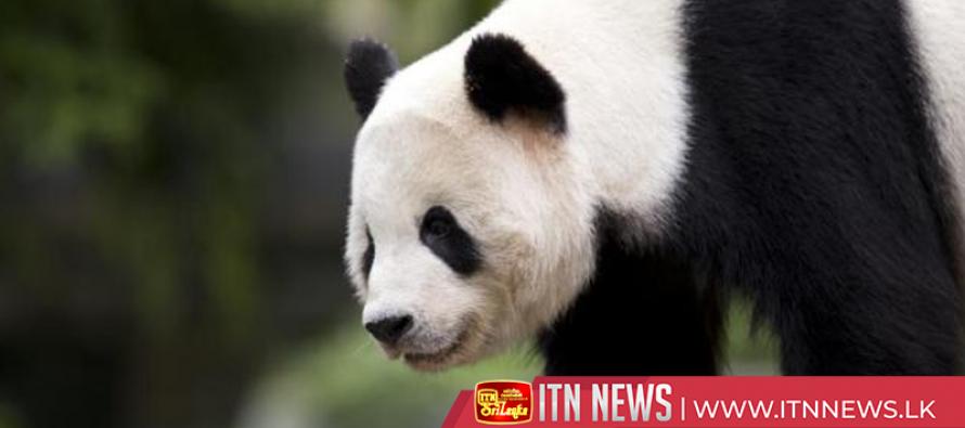 San Diego Zoo bids farewell to China-bound Giant Panda