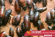 China rears billions of cockroaches to consume waste, cure illnesses