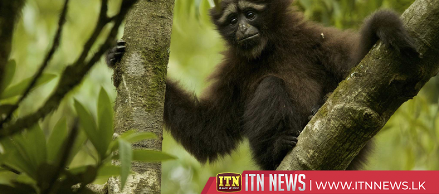 Newborn hoolock gibbon with its mother spotted in southwest China