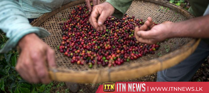 Many coffee species threatened with extinction – scientists