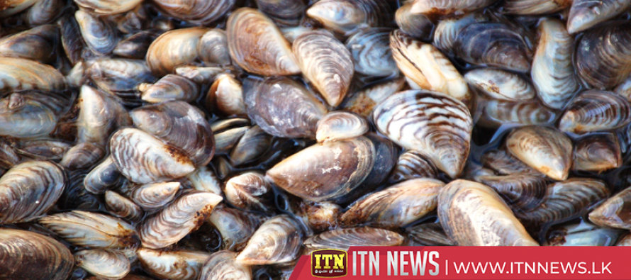 Invasive species of mussel threatens UK oysters