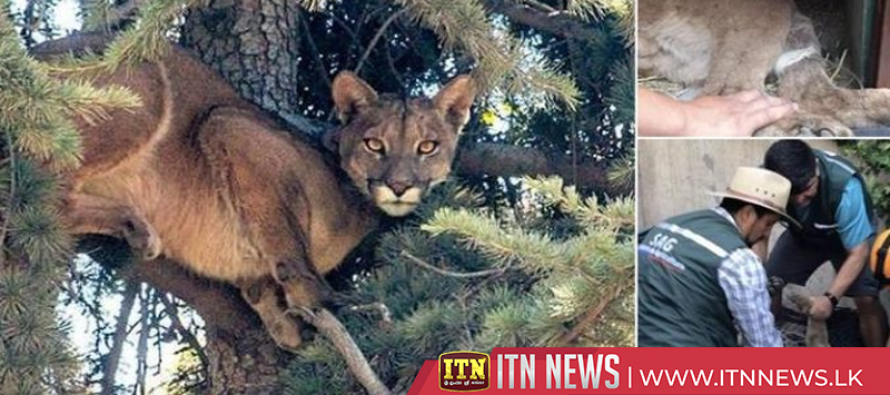 Rescued Puma resting comfortably at Santiago's National Zoo