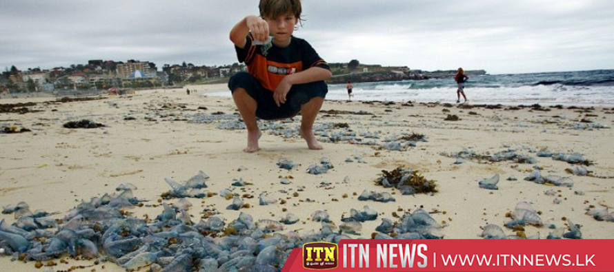 Thousands of people in Australia stung by jellyfish
