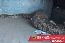 Massive python swallows a large deer