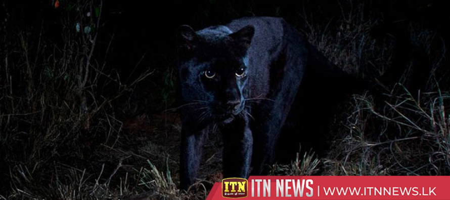 Camera spots Kenya's rare black panther