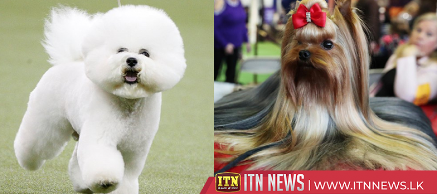 Thousands of dogs vie for Best in Show at New York's Westminster contest