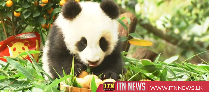 Giant panda cubs get new look at south China zoo