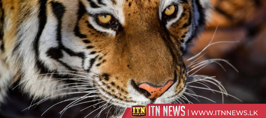 "Overweight"" tiger rescued in Houston"
