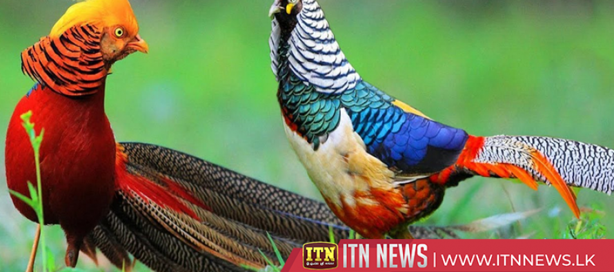 Golden pheasant populations see steady growth in central China