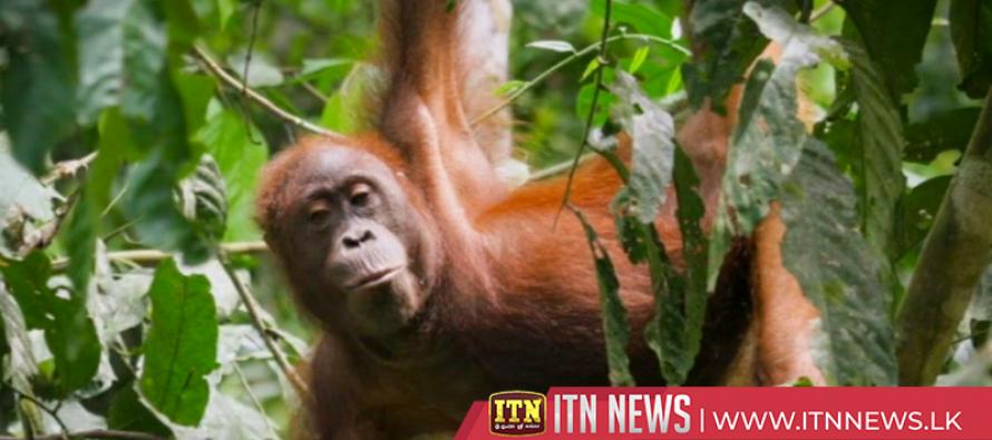 Drones revolutionize orangutan conservation fight