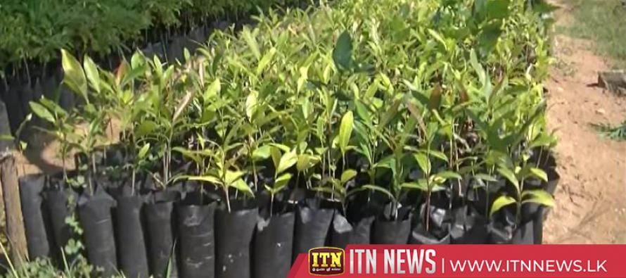 300,000 saplings planted