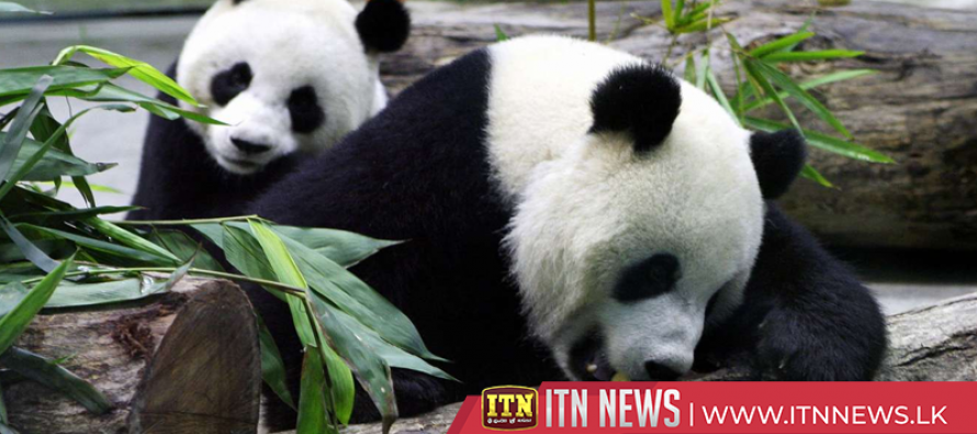 Two giant pandas from China arrive in Copenhagen