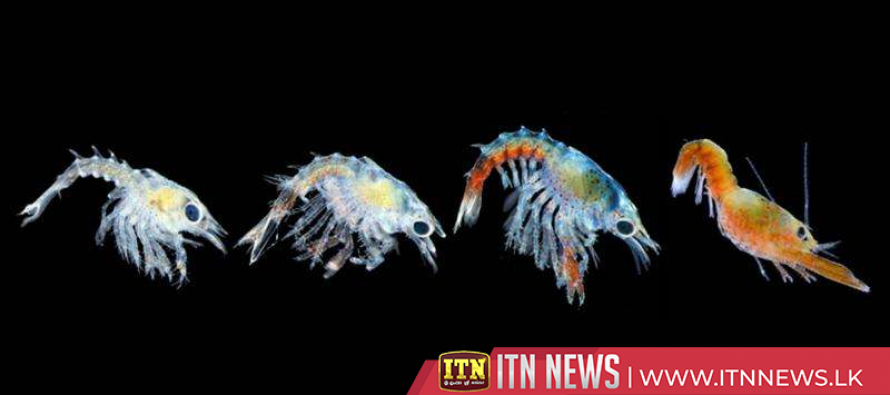 Baby lobsters reared in innovative sea-based system