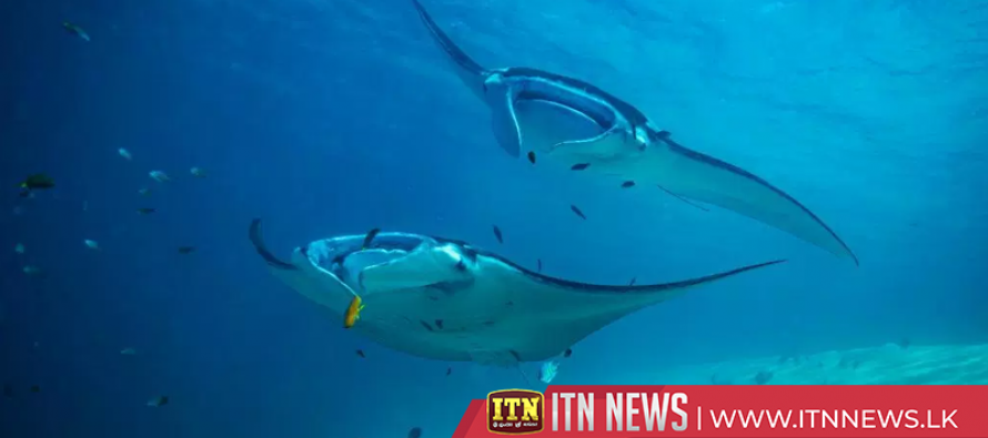 Underwater ultrasound scans manta rays without contact