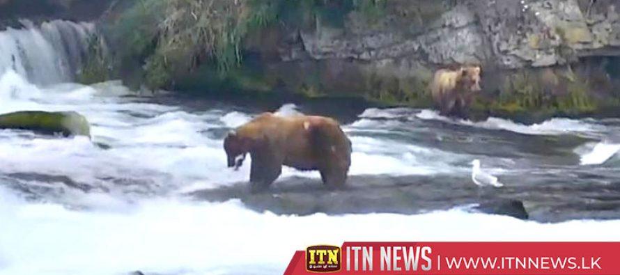Alaska's brown bears chow down post-hibernation
