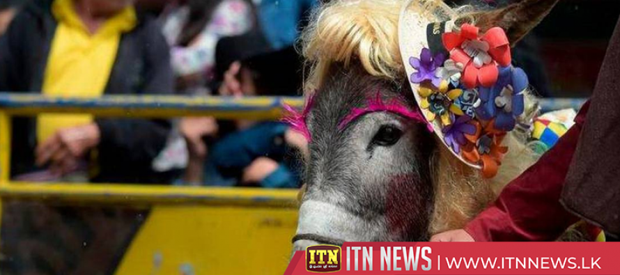Donkeys dress up while people practice their best brays at Colombian fest