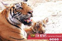 Birth of three Bengal tiger cubs delights Peru zoo