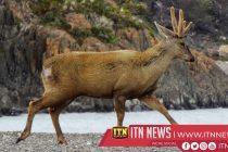 Chile's endangered huemul deer makes a comeback