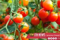 Paris aquarium grows tomatoes from fish droppings in new farming project